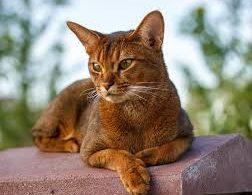 aç gözlü kedi
