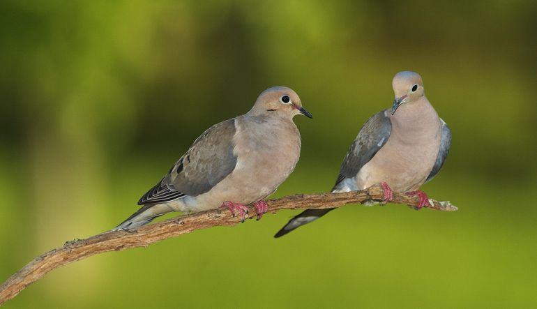 iki güvercin hikayesi